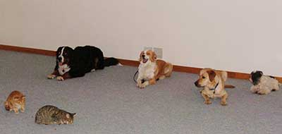 A group of dogs learns to stay around distractions.