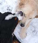dogs kissing