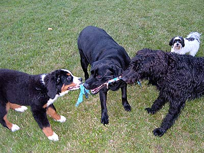 Dogs playing tug-of-war