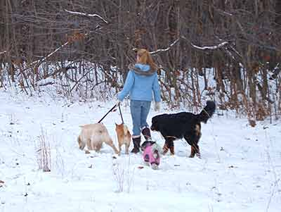 Walking a group of dogs in the winter